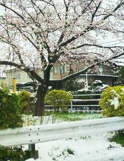 2013042112230002 雪と桜-1.jpg